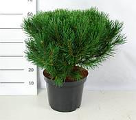 Сосна горная Гном -- Pinus mugo Gnom  P30/H70