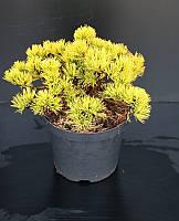 Сосна горная -- Pinus mugo  P26/H30