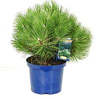 Сосна чёрная Нана -- Pinus nigra Nana  P23/H40