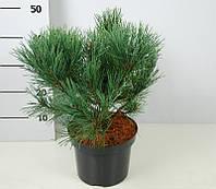 Сосна обыкновенная Ватерери -- Pinus sylvestris Watereri  P23/H40