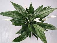 "Спатифиллум 'Серебрянный Купидон"" -- Spathiphyllum Silver Cupido  P17/H65"