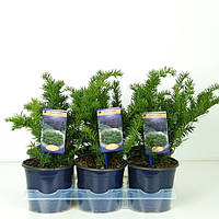 Тис ягодный Репанденс -- Taxus baccata Repandens  P15/H40
