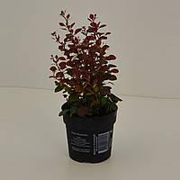Барбарис Тунберга Atropurpurea -- Berberis thunbergii Atropurpurea  P12/H20