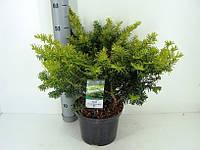 Тис ягодный Саммерголд -- Taxus baccata Summergold  P23/H50