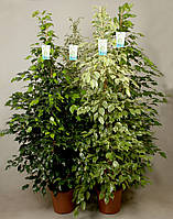 Фикус Бенджамина Mixtrolley -- Ficus benjamina Mixtrolley  P27/H175