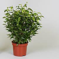 Фикус Бенджамина Natasja -- Ficus benjamina Natasja  P12/H30