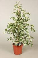 Фикус Бенджамина Twilight -- Ficus benjamina Twilight  P21/H110