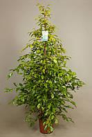 Фикус Бенджамина Реджинальд -- Ficus benjamina Reginald  P27/H180