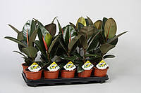 Фикус эластика Робуста -- Ficus elastica Robusta  P12/H35