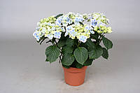"""Гортензия крупнолистная (садовая) """"Tivoli"""" -- Hydrangea macrophylla Tivoli  P14/H40"""