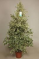 Фикус Бенджамина 'Звёздный свет' -- Ficus benj. Starlight  P27/H165
