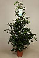 Фикус Бенджамина 'Полуночная Леди' -- Ficus benj. Midnight Lady  P27/H180