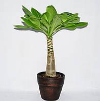 Бригамия гавайская пальма -- Brighamia Hawaiian Palm  P14/H35