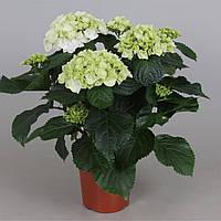 Гортензия крупнолистная Schneeball -- Hydrangea macrophylla Schneeball  P13/H35