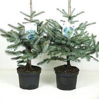 Ель голубая (колючая) -- Picea pungens  P23/H50