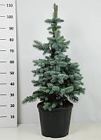 Ель голубая (колючая) Костер -- Picea pungens Koster  P30/H110