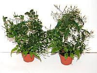Жасмин многоцветковый -- Jasminum polyanthum   P6/H20