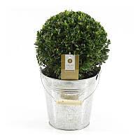 Самшит вечнозеленый -- Buxus sempervirens  P19/H40