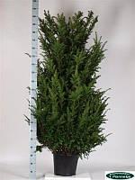Тис ягодный -- Taxus baccata  P35/H210