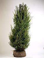Тис ягодный -- Taxus baccata  P40/H230