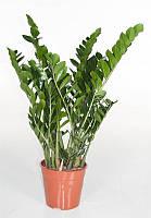 Замиокулькас замиелистный -- Zamioculcas zamiafolia  P27/H100