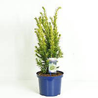 Тис ягодный -- Taxus baccata  P23/H55