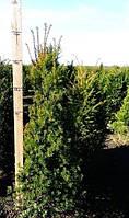 Тис ягодный -- Taxus baccata  P35/H160