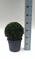 Самшит вечнозеленый -- Buxus sempervirens  P21/H38