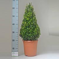 Самшит вечнозеленый -- Buxus sempervirens  P21/H40