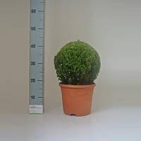Самшит вечнозеленый -- Buxus sempervirens  P23/H40