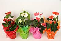 Антуриум андре микс 5 цветов -- Anthurium andreanum mixed 5 Clr.  P12/H40