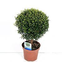 Мирт обыкновенный -- Myrtus communis  P12/H30