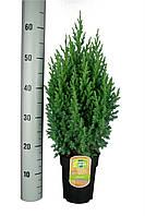 Можжевельник китайский Стрикта -- Juniperus chinensis Stricta  P17/H50