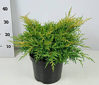 Можжевельник Пфитцера Gold Star -- Juniperus x pfitzeriana Gold Star  P26/H35