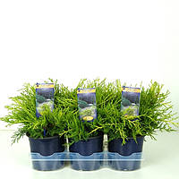 Можжевельник Пфитцера Gold Coast -- Juniperus x pfitzeriana Gold Coast  P15/H25