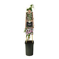 "Пассифлора ""Виктория"" -- Passiflora 'Victoria'  P16/H75"