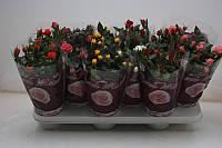 Роза Бомонд микс -- Rose Beau Monde mixed  P510/H25