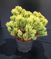 Сосна горная -- Pinus mugo  P26/H40