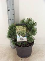 Сосна горная Мопс -- Pinus mugo Mops  P23/H45