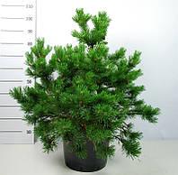 Сосна горная Гном -- Pinus mugo Gnom  P38/H90