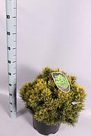 Сосна горная Офир -- Pinus mugo Ophir  P32/H50
