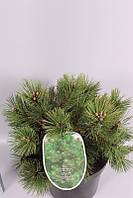 Сосна чёрная Нана -- Pinus nigra Nana  P26/H50
