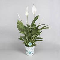 Спатифиллум Вивальди -- Spathiphyllum Vivaldi  P17/H70