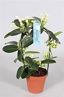 Стефанотис обильноцветущий -- Stephanotis floribunda  P12/H40