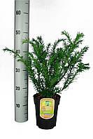 Тис ягодный Репанденс -- Taxus baccata Repandens  P17/H25