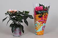 Гибискус китайский микс -- Hibiscus rosa-sinensis mixed  P13/H30