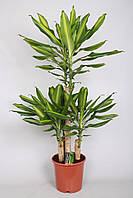 Драцена душистая Mass Coast -- dracaena fragrans Mass Coast  P24/H90