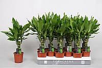 Драцена душистая Steudneri -- dracaena fragrans Steudneri  P11/H45