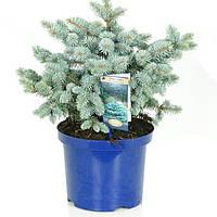 Ель голубая (колючая) Глаука Глобоза -- Picea pungens Glauca Globosa  P23/H40
