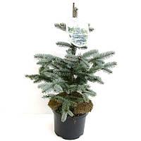 Ель голубая (колючая) Хупси -- Picea pungens Hoopsii  P23/H50
